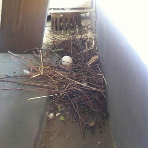 ベランダの鳩の卵